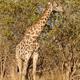 Giraffe at Okavango Delta - Moremi N.P. - PhotoDune Item for Sale
