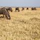 Wilderbeest, Botswana, Africa - PhotoDune Item for Sale