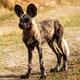 Wild Dog - Okavango Delta - Moremi N.P. - PhotoDune Item for Sale