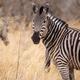 Zebra - Okavango Delta - Moremi N.P. - PhotoDune Item for Sale