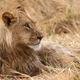Lion - Okavango Delta - Moremi N.P. - PhotoDune Item for Sale