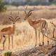 Impala - Okavango Delta - Moremi N.P. - PhotoDune Item for Sale