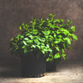 Fresh mint growing in pots, copy space, square crop - PhotoDune Item for Sale