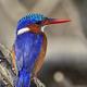 Malachite kingfisher (Corythornis cristatus) - PhotoDune Item for Sale