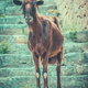 Wild Goat In Mallorca - PhotoDune Item for Sale