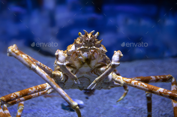 Japanese Spider Crab - Stock Photo - Images