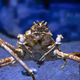 Japanese Spider Crab - PhotoDune Item for Sale