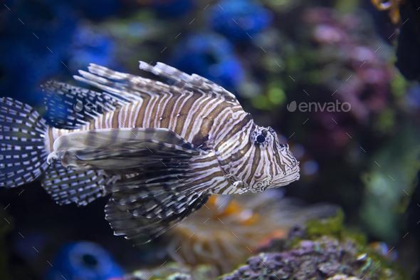 Closeup of a Lionfish in an Aquarium - Stock Photo - Images