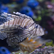 Closeup of a Lionfish in an Aquarium - PhotoDune Item for Sale