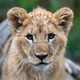 Lion cub in spring time - PhotoDune Item for Sale