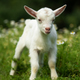 White baby goat standing on green grass - PhotoDune Item for Sale
