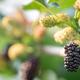 Growing mulberries - PhotoDune Item for Sale