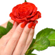 Hands of a woman with red manicure with scarlet rose on white ba - PhotoDune Item for Sale