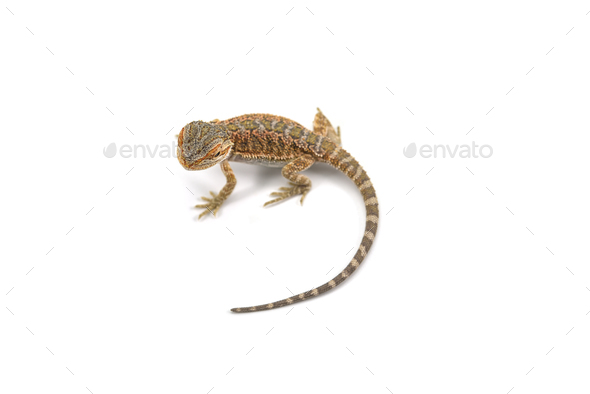 Lizard Bearded Dragon isolated on white background - Stock Photo - Images
