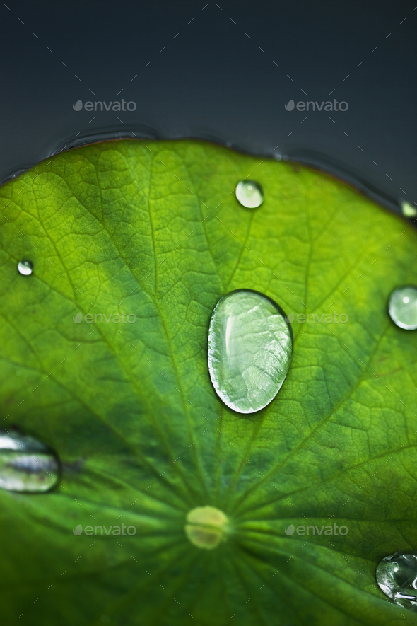 Waterlily - Stock Photo - Images