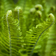 Fern in Spring - PhotoDune Item for Sale