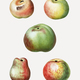 Various apple types - PhotoDune Item for Sale