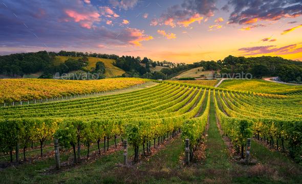 Vineyard Sunrise - Stock Photo - Images