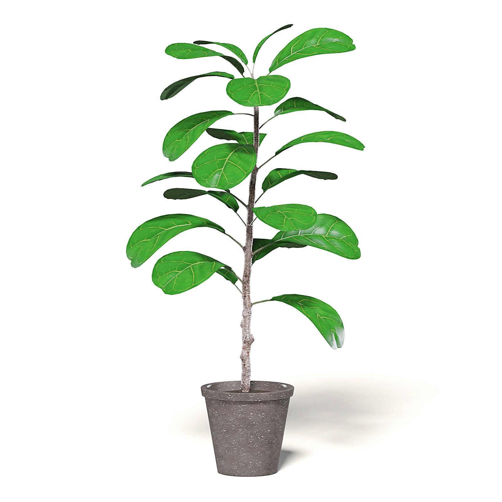 Fig Plant 3D Model in Brown Pot