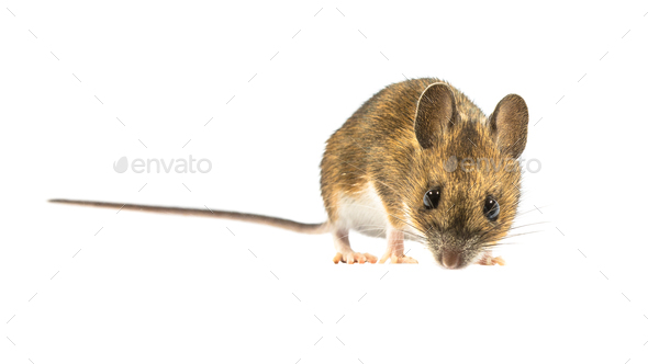 Fearful mouse isolated on white background - Stock Photo - Images
