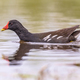 Common Moorhen swimming - PhotoDune Item for Sale