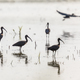 Glossy ibis group backlight - PhotoDune Item for Sale