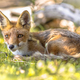 Red Fox sleeping in shade - PhotoDune Item for Sale