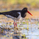 Pied Oystercatcher on river bank - PhotoDune Item for Sale
