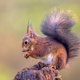 Red squirrel eating nuts from forelegs - PhotoDune Item for Sale