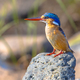 Malachite Kingfisher on rock - PhotoDune Item for Sale
