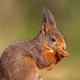 Red squirrel looking at camera on green background - PhotoDune Item for Sale