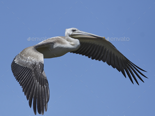 Pink-backed pelican (Pelecanus rufescens) - Stock Photo - Images