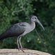 Hadeda ibis (Bostrychia hagedash) - PhotoDune Item for Sale