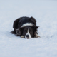 Dog Border Collie on a walk in winter - PhotoDune Item for Sale
