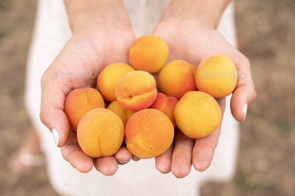 Harvesting of Apricots - Stock Photo - Images