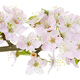 Apple flowers branch isolated on a white background. - PhotoDune Item for Sale