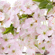 Blooming apple tree branch close-up as a background. - PhotoDune Item for Sale
