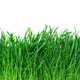 Green grass isolated on white background. - PhotoDune Item for Sale