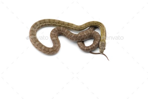 The Japanese rat snake isolated on white background - Stock Photo - Images