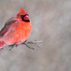 Northern Cardinal - Cardinalis cardinalis - PhotoDune Item for Sale