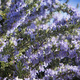 The rosemary plant in bloom - PhotoDune Item for Sale