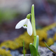 Snowdrop (Galanthus) in the spring forest - PhotoDune Item for Sale