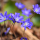 Blooming in the spring forest Hepatica nobilis - PhotoDune Item for Sale