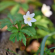 Anemone sylvestris. First spring flowers - PhotoDune Item for Sale