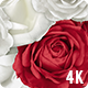 Red & White Roses Floating Background  - 3 Clips - VideoHive Item for Sale