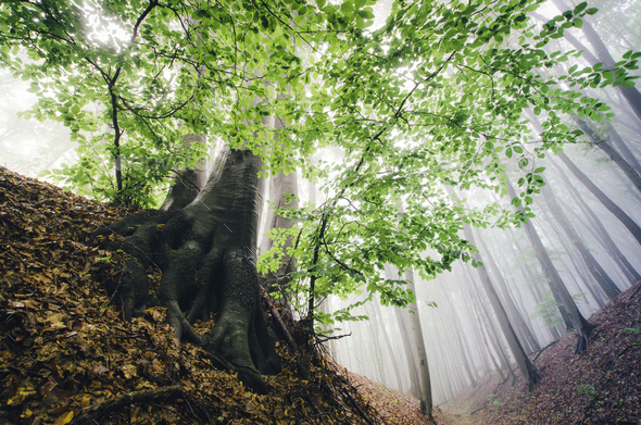 green leaves on tree in misty forest vivid landscape - Stock Photo - Images