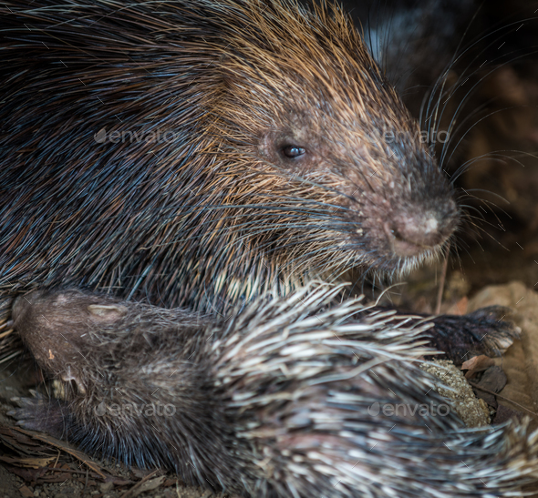 Baby porcupine nursing of it's mother's breast close-up - Stock Photo - Images