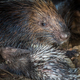 Baby porcupine nursing of it's mother's breast close-up - PhotoDune Item for Sale