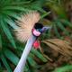 The grey crowned crane Balearica regulorum profile - PhotoDune Item for Sale