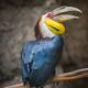 Wreathed Hornbill Bird Rhyticeros undulatus - PhotoDune Item for Sale
